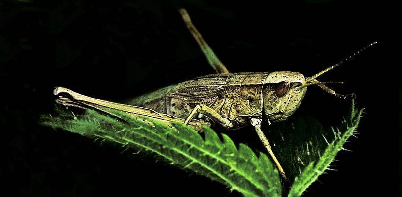 1,5 cm großer Hüpfer :-) mitten im Feldrand-Dschungel gesehen