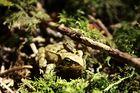 1,5 cm großer Laubfrosch im Wald