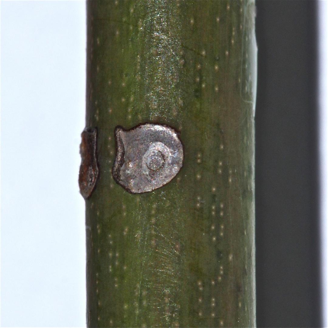 (15) Eiablagestelle einer anderen Blattwespe vom gleichen Typ wie Allantus viennensis . . .