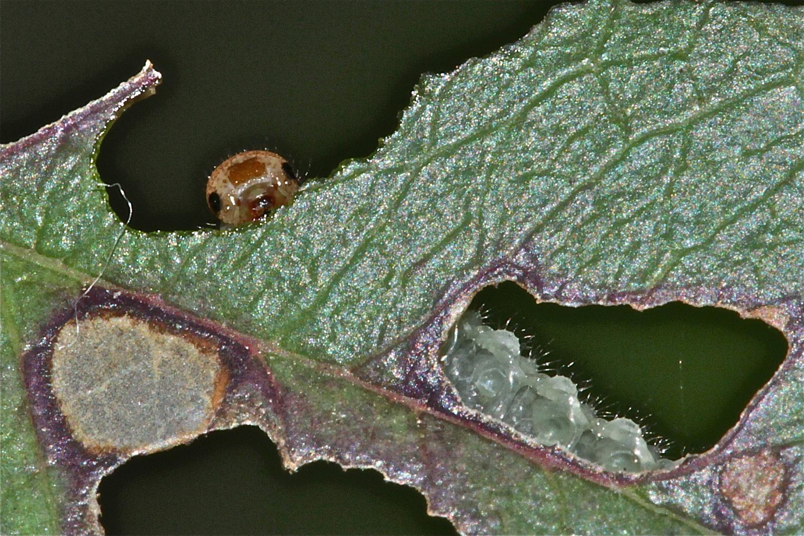 (15) Kuckuck! Ich bin's, Segavia! Die kleine Blattwespenlarve (ALLANTUS VIENNENSIS) . . .
