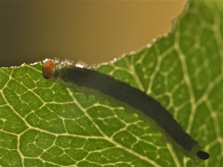 (18) Die  Blattwespenraupe Segavia (ALLANTUS VIENNENSIS) nutzt die letzten Sonnenstrahlen aus . . .