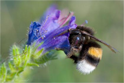Bienen - Hummeln