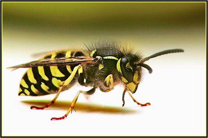 Bienen, Wespen & Ameisen