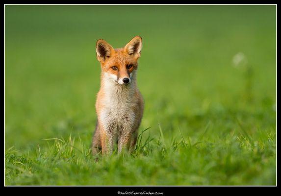 1er renard / Fox / Fuchs