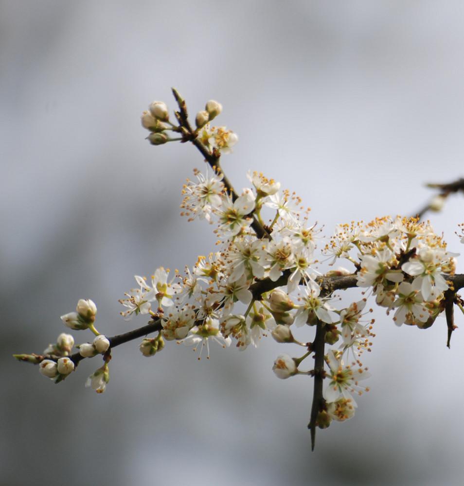 1ère fleurs de primtemps 2