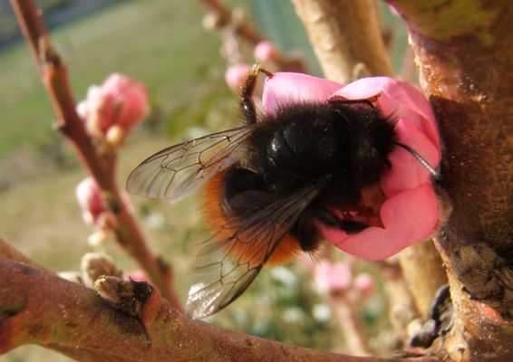 1ère pollinisation