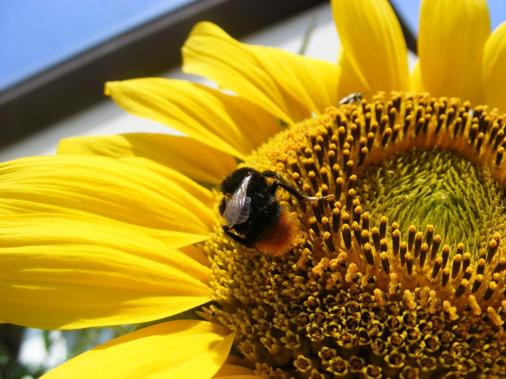 2 auf der Sonnenblume