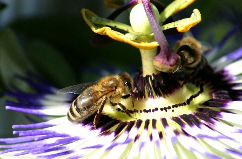2 Bienen tummeln sich auf einer Passionsblume