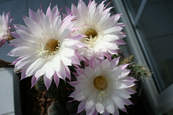 2. Bild.. die kaktusblüte...