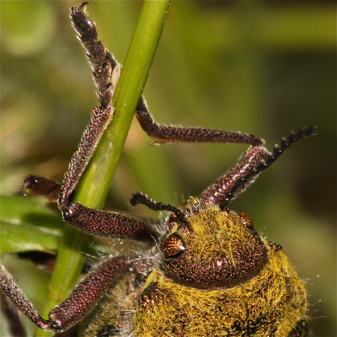 (2) Der einige Zentimeter große Prachtkäfer (Buprestide) aus der Türkei . . .