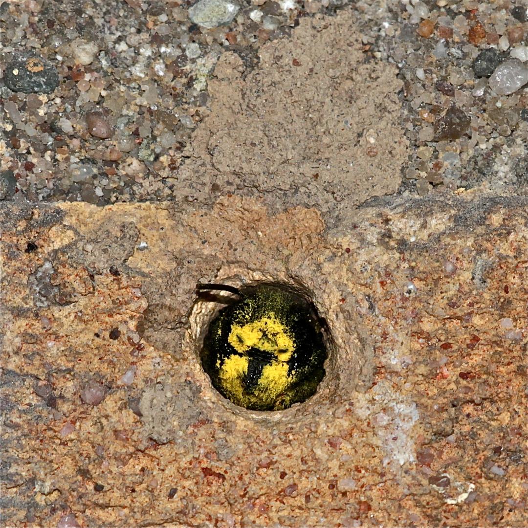 (2) Die erste Gehörnte Mauerbiene (Osmia cornuta) im Garten habe ich heute . . .