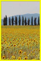 2 Elemente der Toskana: Zypressen und Sonnenblumen