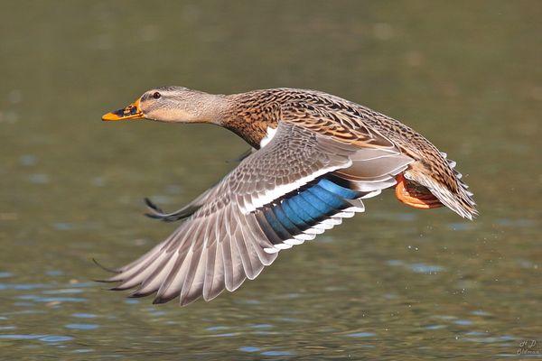 2. Ente im Flug