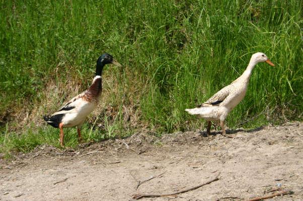 2 Enten auf der Flucht
