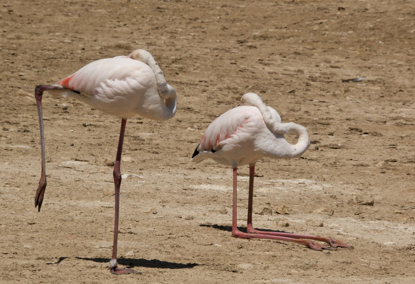2 Flamingos b