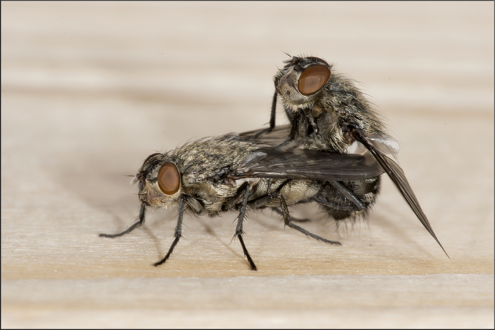2 fliegen foto bild tiere wildlife insekten bilder for Fliegen auf blumenerde