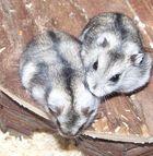 2 glückliche Hamster Eltern