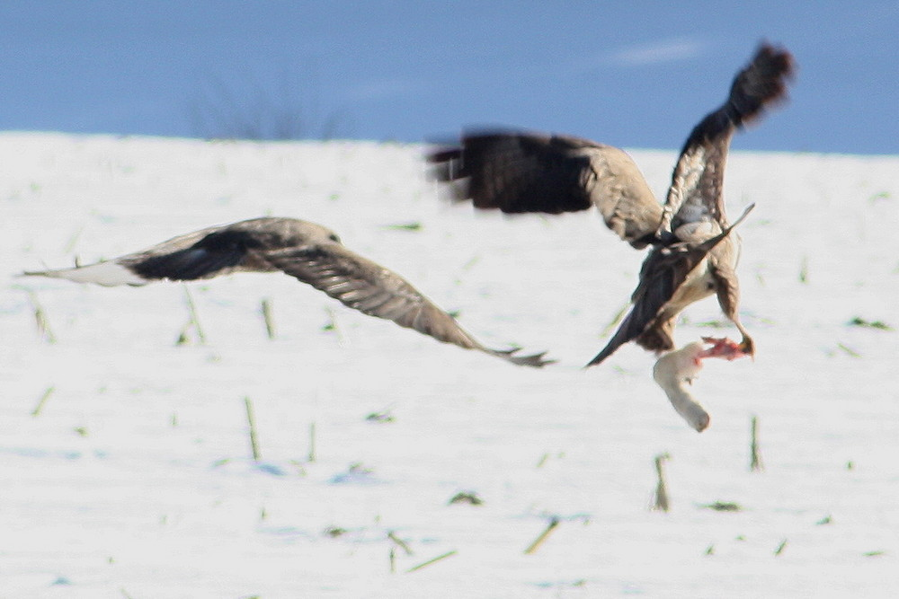 2 Greifvögel im Abflug mit der Beute