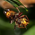 (2) Hornisse (Vespa crabro) frißt Honigbiene (Apis mellifica)