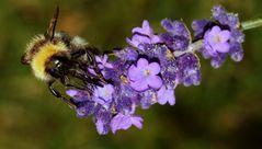 (2) Hummel auf Lavendelblüte...