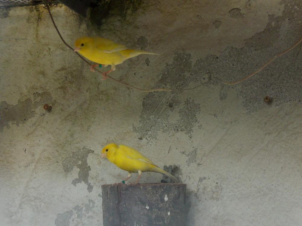 2 Kanarien Vögel