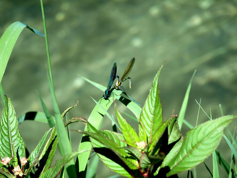 2 Libellen beim Liebesspiel.. :-)