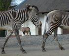 2 mal 1/2 Zebra = 1 Zebra