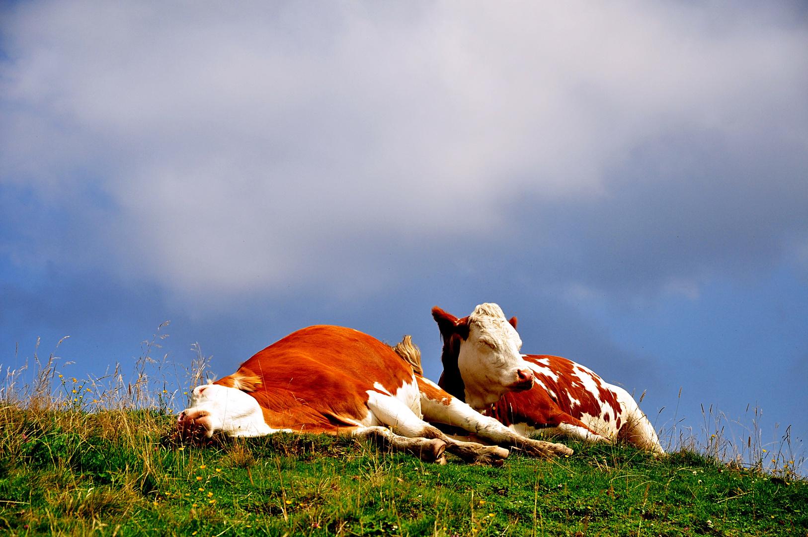 2 müde Kühe in den Bergen
