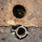 (2) Na ja - . . . Osmia cornuta, die Gehörnte Mauerbiene . . .