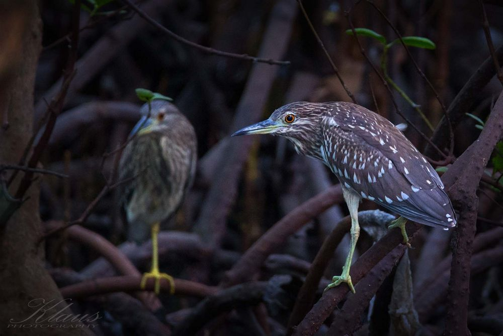 2 Nachtreiher (Nycticorax nycticorax) Jungvoegel