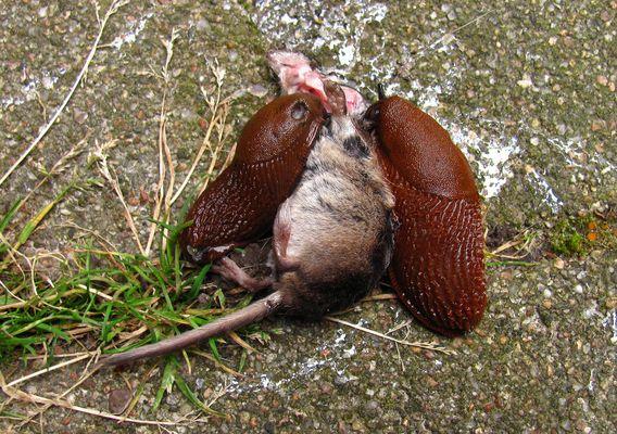 2 Nacktschnecken auf einer toten Maus...