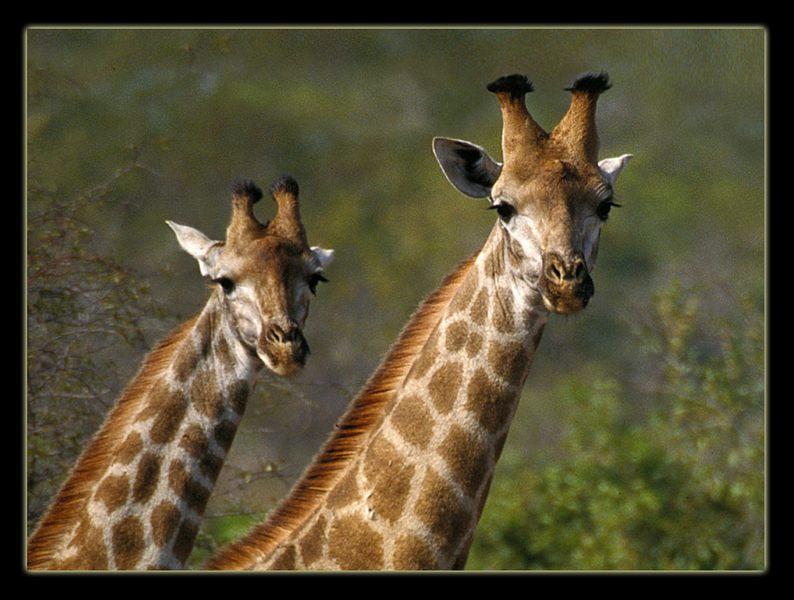 2 neugierige Giraffen