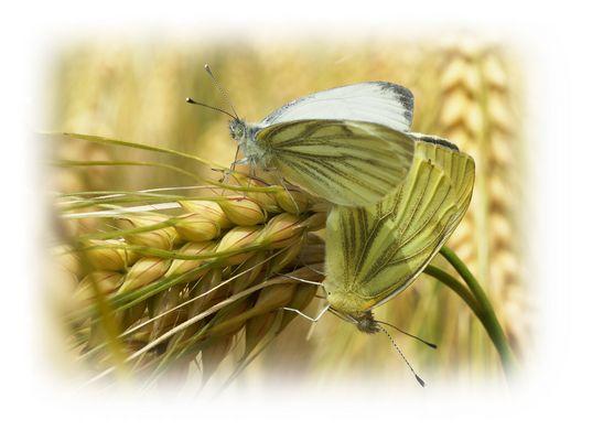 2 papillons dans les blés