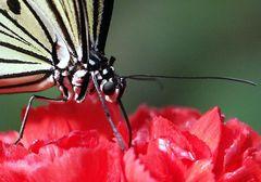 2. Schmetterling, Detail