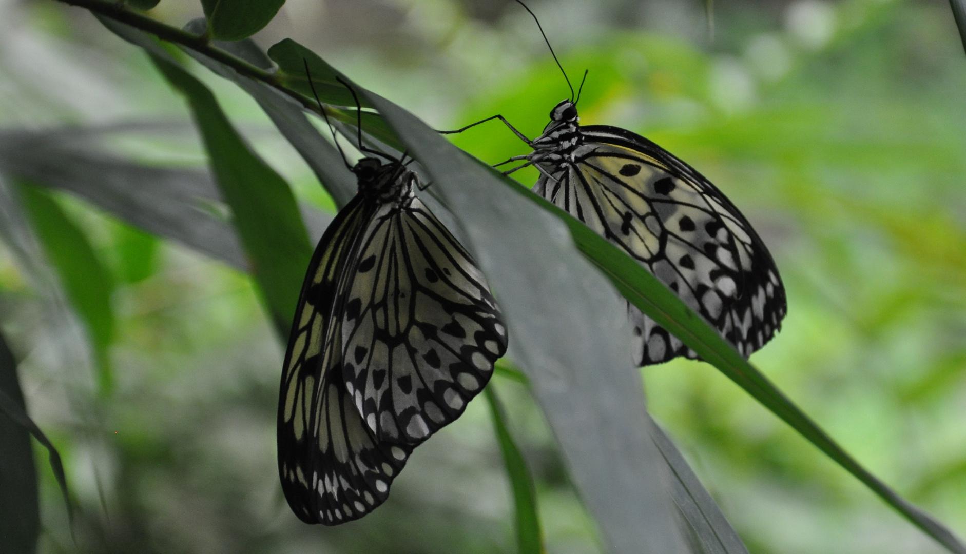 2 Schmetterlinge - einfach unzertrennlich