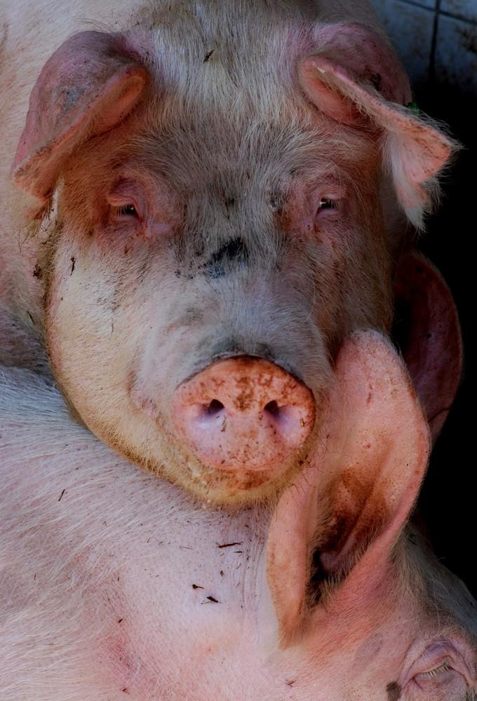 2 Schweine aus dem Laufstall