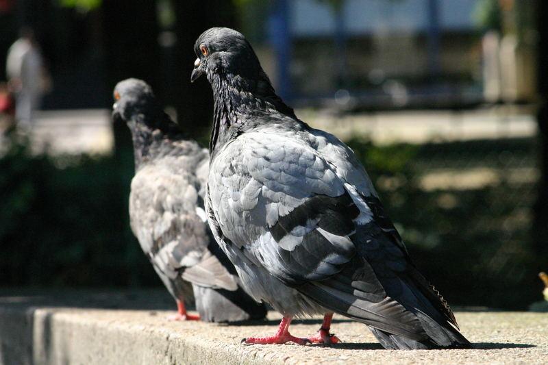 2 Tauben - mal ganz unspektakulär und unbearbeitet