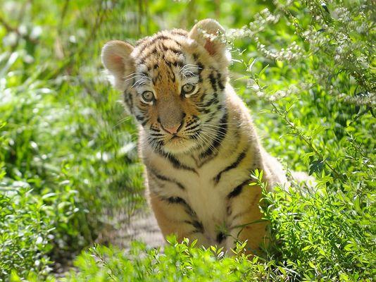 2. Tigerbaby Serie I