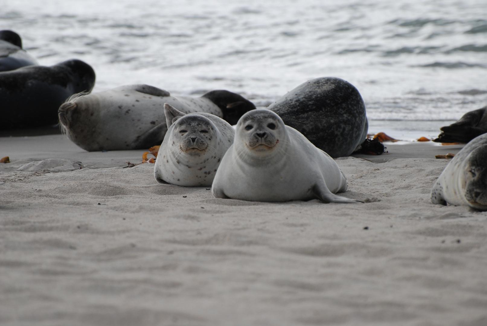 2 verschlafene Robben