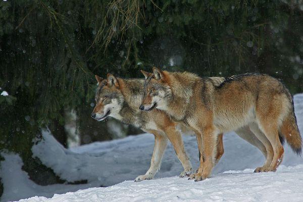 2 Wölfe