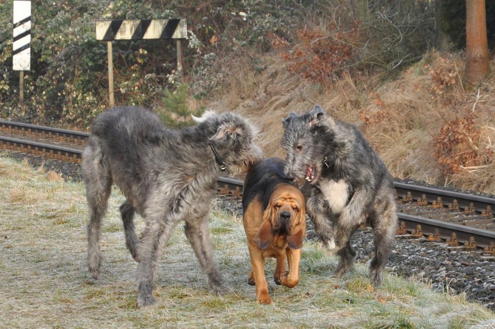 """2 """"Wölfe"""" jagen Bloodhound"""