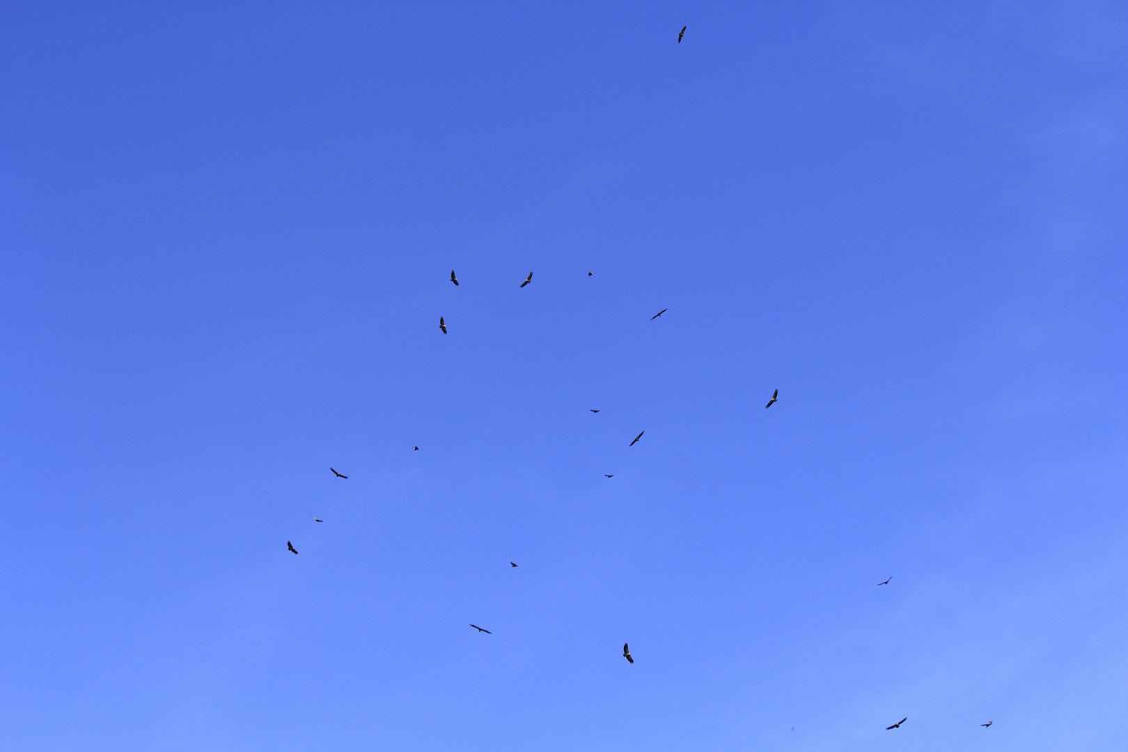 20 Gänsegeier am Himmel Andalusiens