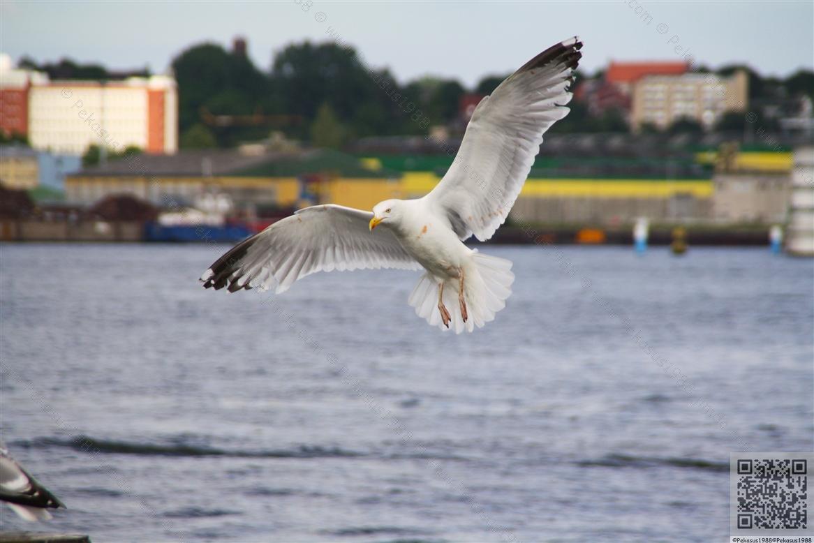 2010-06-26 Möwe
