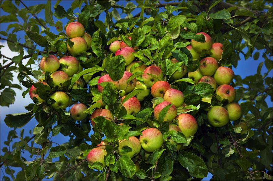 2011 - Jahr des Apfels