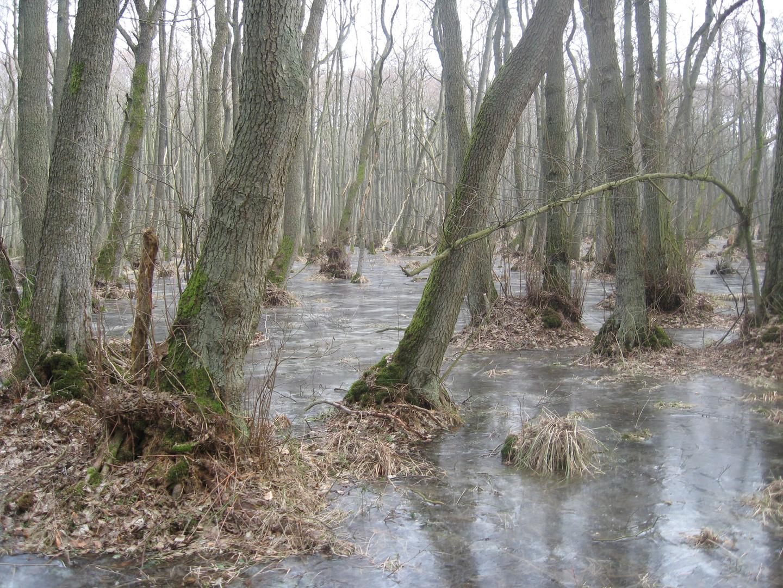 2011 Winterurlaub auf Darss, Eisflächen im Wald