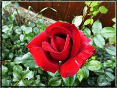 2016-09-11-Eine Rose zum Sonntag