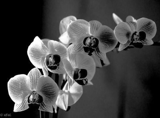 2016-11-fleur-orchidNB