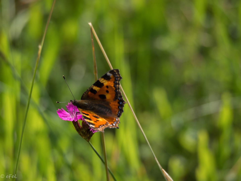 2017-06-fleur-papillon