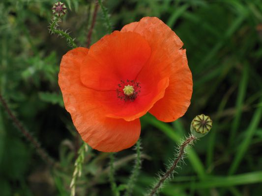 2+1 or wild poppies