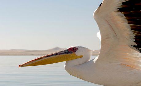 Tölpel, Pelikane, Kormorane